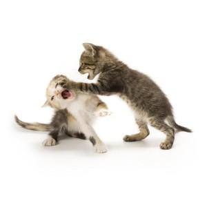 zwei Katzen streiten
