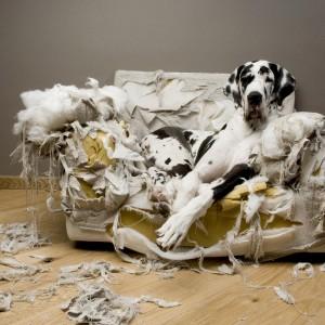 ein großer Hund auf einem kaputten Sofa