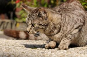 eine Katze sitzt und miaut