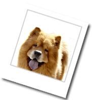 Chow-Chow - ein Bild zum Steckbrief