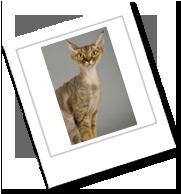 eine Devon Rex Katze