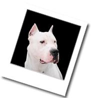 Bild vom Steckbrief der Hunderasse Dogo Argentino