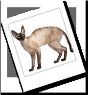 eine Cornish Rex Katze