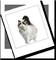 eine Katze der Rasse Ragdoll