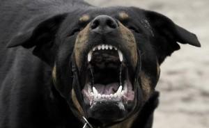 ein sehr aggressiver Hund fletscht die zähne