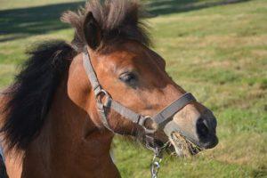 Pony frisst kräuter